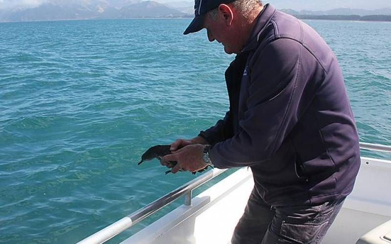 Skipper Gary Releasing a Fledged Hutton's