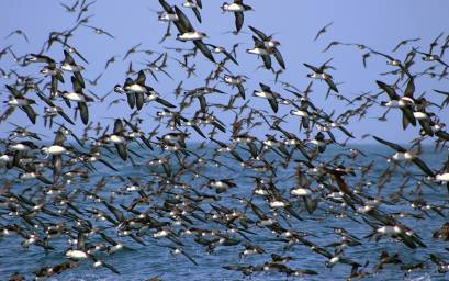 Hutton's shearwaters in mass